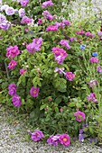 Rosa gallica officinalis (Apothekerrose), historisch, einmalblühend, duftend,