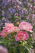 Rosa 'Candy Rose' (Bodendecker-Rose) mit Nepeta (Katzenminze)