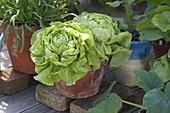 Kopfsalat (Lactuca) und Tulbaghia violacea (Kaplilie, Wilder Knoblauch