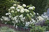 Schattenbeet mit Hydrangea arborescens ' Annabelle ' (Ballhortensie)