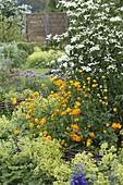 Trollius chinensis 'Golden Queen' (Trollblumen), Cornus kousa var. chinensis '