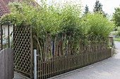 Sichtschutz-Zaun aus ausgetriebenen Salix (Weidenruten)