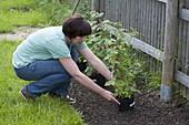 Frau pflanzt Himbeeren im Biogarten