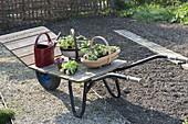 Schweizer Karre mit Pflanzen am leeren Beet