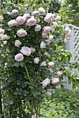 Rosa 'Pierre de Ronsard' syn. 'Eden 85' (Nostalgierose)