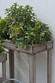 Pflanzkaesten in Tischhöhe mit Erdbeeren und Kräutern bepflanzen