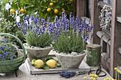 Lavendel 'Hidcote Blue' (Lavandula angustifolia) in konischen Toepfen