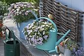 Farbige Giesskannen mit Balkonblumen bepflanzt : Calibrachoa 'Dream Kisses