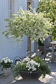 Weiß-bunte Salix integra 'Hakuro nishiki' (Harlekin-Weide) Stamm