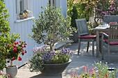 Graue Schale bepflanzt mit Olea europaea (Olive) Stämmchen, Lavendel