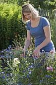 Frau schneidet Centaurea cyanus (Kornblumen) für Blumenstrauss