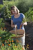 Frau legt frisch geerntete Möhren, Karotten (Daucus carota) in Korb