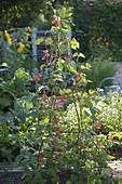 Blühende Feuerbohnen (Phaseolus) an Rankgerüst im Beet