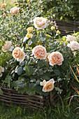 Rosa 'Candlelight' (Edelrose) mit starkem Duft, oefterbluehend von Tantau