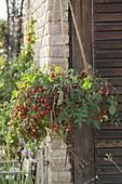 Ampel - Tomate 'Tumbler' (Lycopersicon) in selbstgemachtem Korb