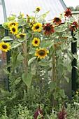 Helianthus (Sonnenblumen) im Kräuterbeet zwischen Minze (Mentha)