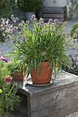 Berglauch (Allium senescens)