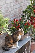 Katze Minka neben Paprika, Peperoni, Chili (Capsicum annuum) auf Holzbank