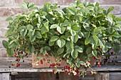 Erdbeeren 'Walderdbeere Alpen rot' (Fragaria vesca) in Terracotta-Kasten