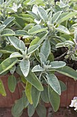 Salbei (Salvia officinalis) im Terracottakasten