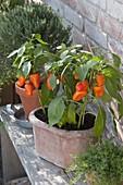 Chili 'Habanero Orange' (Capsicum chinense) in Terracotta-Kasten und Tontopf