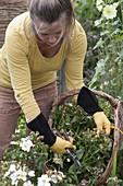Frau schneidet verblühte Blüten von Rosa (Rosen) aus