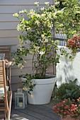 Lonicera caprifolium (Geißblatt) im weissen Kübel, Calibrachoa