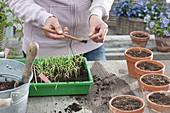 Alte Zinkwanne mit Sommerblumen bepflanzen