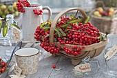 Korb mit frisch geernteten Beeren von Sorbus aucuparia 'Edulis'