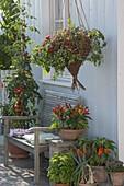 Selbstgemachten Ampelkorb mit Haengetomate 'Losetto' bepflanzen