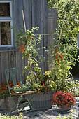 Kleine Naschterrasse : Tomate Santorange' (Lycopersicon) mit Chili