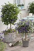 Blau-weisse Terrasse : Solanum rantonnetii 'Bavaria' (Enzianbaum)