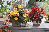 Begonia tuberhybrida (Knollenbegonie)