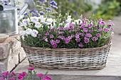Dianthus 'Pink Kisses' White Eye' (Nelken) im Korb