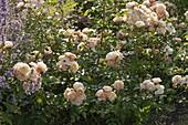 Rosa 'Bordure Nacreè' - niedrige Beetrose kleinblütig - öfterblühend - kein Duft
