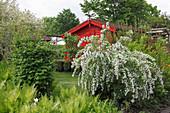 Rotes Gartenhaus hinter Prachtspiere