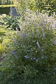 Vitex agnus-castus (Mönchspfeffer) ist eine alt bekannte Heilpflanze