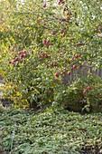 Apfel 'Rewena' (Malus domestica), Pflueckreife im Oktober