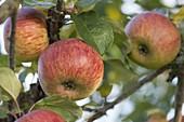 Apfel Rheinischer Winterrambur (Malus domestica) auch Jaegerapfel