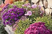 Holz-Balkonkasten mit Chrysanthemum 'Kifix' (Herbstchrysanthemen)