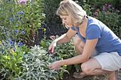 Frau schneidet Salbei (Salvia officinalis) zum trocknen