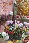 Colchicum autumnale (Herbstzeitlose), Cyclamen (Alpenveilchen), Viola