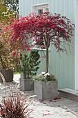 Acer palmatum 'Dissectum Atropurpureum' (Japanischer Schlitzahorn)