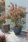 Acer palmatum 'Katsura' (Japanischer Fächerahorn) im grauen Topf