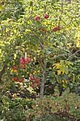 Apfelernte an Mini-Apfelbaum Sorte Gravensteiner