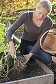 Frau erntet Porree, Lauch (Allium porrum)