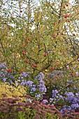 Apfelbaum Sorte 'Topaz' (Malus) im Beet mit Aster (Herbstastern)