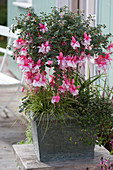 Fuchsia 'El Camino' (Fuchsie) als Staemmchen, unterpflanzt mit Carex