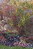 Rosa multiflora (Vielblütige Rose) im Herbst mit Mini-Hagebutten