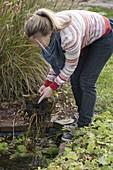 Frau nimmt Nymphaea (Seerose) zur Überwinterung aus dem Mini-Teich